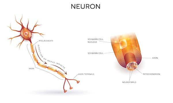 Neuron and myelin sheath